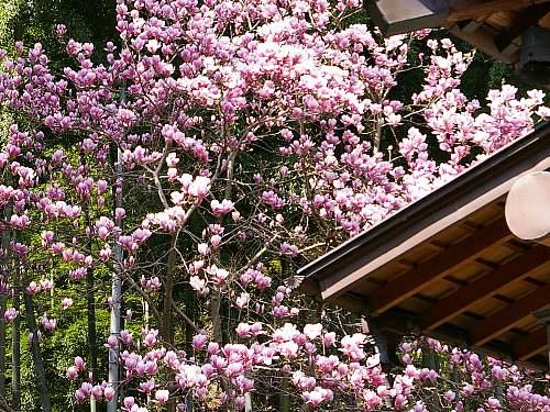 サラサモクレン (貞宗寺)